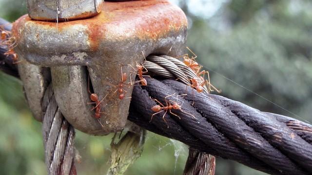 Red ants alarm