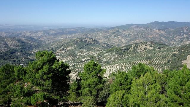 Olive Invasion